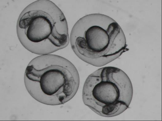Zebrafish Embryo Injection Zebrafish Embryo Injec...